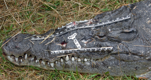 RoboCroc_head_shot_22-3-2009.jpg.jpeg